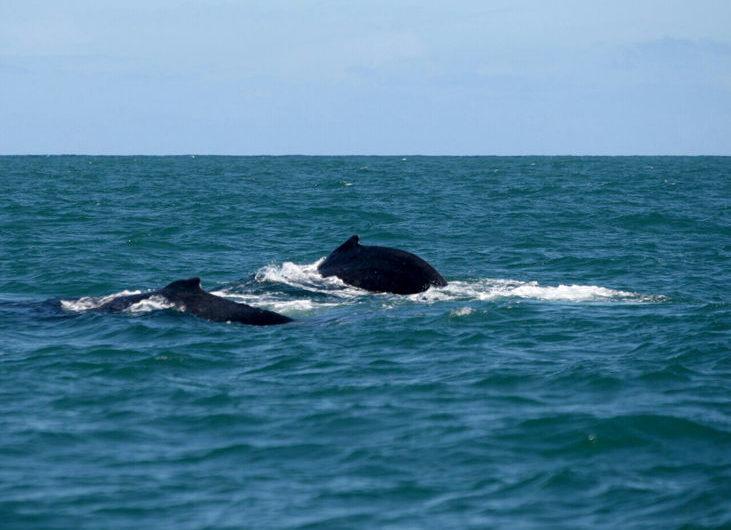 Observação de baleias atrai turistas na baixa estação