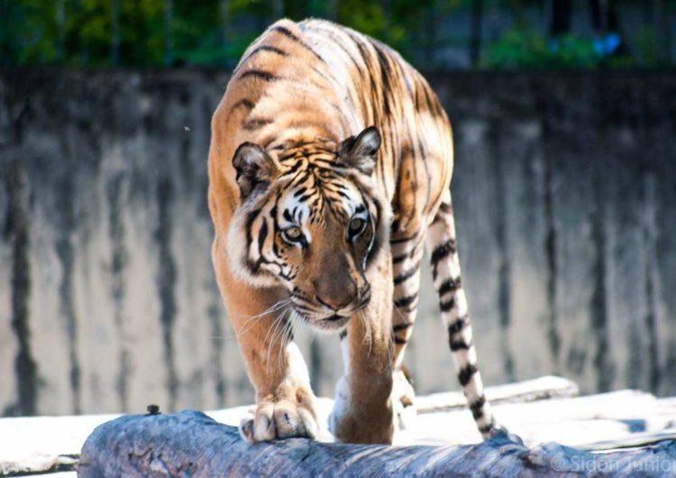 População de tigres na Índia cresce 30% em quatro anos